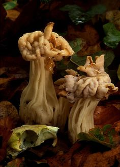 White Elfin Saddle (Helvella Crispa) in woodland in Dorset ~ By Pamela Gardiner ...Love the rodent skull!