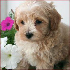 it's so cute and fluffy!! maltipoo puppy. Not really home decor, but I can just see it running around my house!!