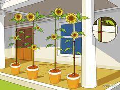 die besten 25 sonnenblume im topf ideen auf pinterest plants of zombies ravelry und ravelry. Black Bedroom Furniture Sets. Home Design Ideas