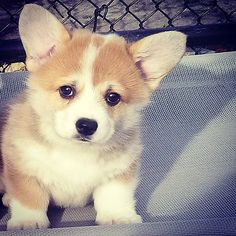 7 week old corgi puppy! | Flickr - Photo Sharing!