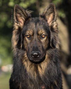 Like puppies, bunnies, babies, and so on. German Sheperd Dogs, Shepherd Dog, Beautiful Dogs, Animals Beautiful, Berger Malinois, Animals And Pets, Cute Animals, Tiny Dog Breeds, Cool Dog Houses