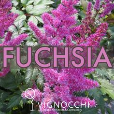 Fuchsia: Named after the actual fuchsia plant Inspires confidence Can invoke female charm which is why this Astilbe is called Maggie Daley The great color pop and texture of this astilbe is fantastic in a part shade garden. Fuchsia Plant, Landscape Maintenance, Astilbe, Shade Garden, Landscape Architecture, Perennials, Color Pop, Confidence, Gardening