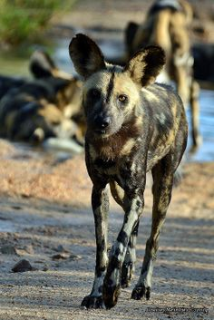 African wild dog (Lycaon pictus) DSC_7331