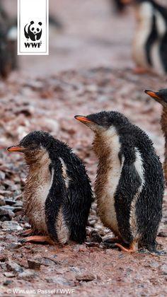 Heute ist der beste Tag des Jahres:  #penguinawarenessday
