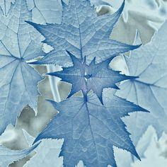 Ice Blue Leaves love the colours Love Blue, Blue And White, Bleu Pale, Le Grand Bleu, Color Celeste, Blue Leaves, Maple Leaves, Blue Aesthetic, My Favorite Color