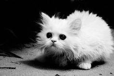 white kitten rock