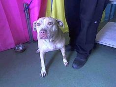 GRAVE DANGER - SR #ALERT! NEEDS PLEDGES/FOSTER OR ADOPTER ASAP!!!!! ♥ #SENIOR GAL- #A572331 (available 9/6) ♥ HURRY!!!!!  I am a female, tan/white Pit Bull Terrier. about 7 years old. I have been at the shelter since Aug 31, 2013. San Bernardino County - #Devore Shelter at (909) 386-9820 https://www.facebook.com/photo.php?fbid=511151602303176=a.407457879339216.97606.118795328205474=1  http://petharbor.com/pet.asp?uaid=SBCO1.A572331