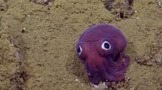 Rossia pacifica - a tiny cephalopod that is closely related to the cuttlefish