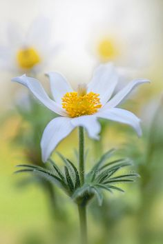 White Pasque Flower by Jacky Parker on 500px