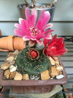 My Chin Cactus in bloom again! Gymnocalycium baldianum
