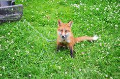 Лисица Инари. Fox (vk.com/petsfox)