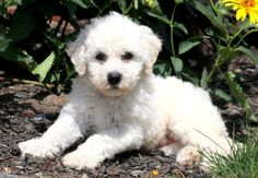 This adorable Bichon puppy will show you what unconditional love really is! Bichon Puppies For Sale, Puppies Puppies, Bichon Frise, Buttons, Health, Dogs, Animals, Animales, Health Care