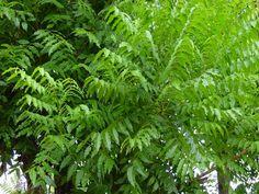 La azadirachta índica, más conocida como margosa o árbol del nim, por sus propiedades intrínsecas, es sin duda un tesoro biológico, constituye en sí mismo una auténtica y completísima farmacia. Neem de la India. El árbol del siglo XXI - Guia Sana