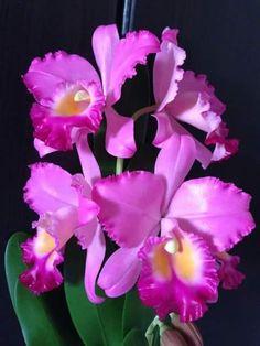 flowers and plants Rare Flowers, Exotic Flowers, Beautiful Flowers, Cattleya Orchid, Anemone Flower, Orchid Varieties, Orchid Care, Sugar Flowers, Flowering Trees