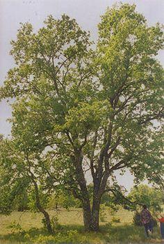 Quejigo (quercus faginea)
