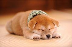 【写真を見る】柴犬の赤ちゃん・豆助の寝姿は文句なしのかわいさ!