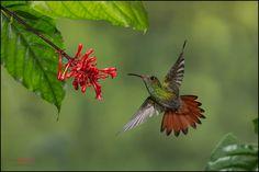 Rufous-tailed Hummingbird (Amazilia tzacatl) feeding from flowers in flight at Heredia, Costa Rica.