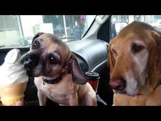 Short clip showing the personalities of two dogs as they share an ice cream from McDonalds.