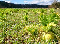 Veronica persica carpet #farm #garden #landscape