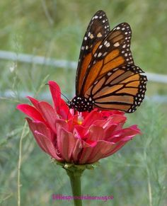 monarch butterfly   How to Attract Butterflies to Your Garden
