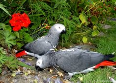Captive african grey parrots investigating local garden and flowers.