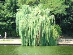 The Meaning of a Willow Tree