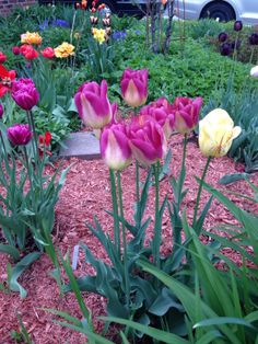 Tulips May 23 2014 Starting A Garden, Tulips, Weed, Grass, York, Plants, Tulip, Marijuana Plants, Grasses