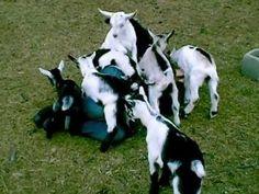 Soft baby goat love pile at Adamah Farm