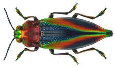 Family: Buprestidae Size: 23 mm Location: Indonesia, Irian Jaya, Kei Islands, Tual City, Ohoidertawun leg. A.Skale, 2011; det. U.Schmidt, 2011 Photo: U.Schmidt, 2011