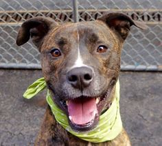 SAFE - 02/18/16 - TO BE DESTROYED - 02/17/16 - NIKO aka NICO - #A1010880 - **RETURN 02/02/16**- MANHATTAN -NEUTERED MALE BR BRINDLE AND WHITE GREAT DANE AND BOXER MIX 3 Years - OWNER SUR ON 02/02/16 - Reason TOO BIG