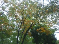 Kobe's good morning after rain☆Under the cloudy sky,leaves of the tree on my way to work,become yellow so lovelily,makes my heart bright(*^_^*)