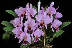Orchid: Cattleya percivaliana 'Maria Cecilia' - by Cassano, A.