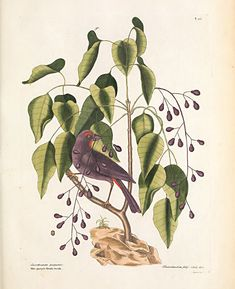 catesby purple grosbeak antique bird prints . . giclee reproduction print on fine paper. Available in different sizes, unframed or framed in gold or silver leaf wood frame, or vintage open grain dark wood frame. Custom sizes available. Made in USA by Museum Outlets Fine Paper, Bird Prints, Dark Wood, Note Cards, Museum, Purple, Antiques, Painting, Vintage