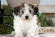 Keystone Puppies has a puppy finder feature setting you up to find and buy a dog perfect for your home. Havanese Puppies For Sale, Havanese Dogs, Baby Puppies, Puppy Finder, Puppy Drawing, Buy A Dog, Companion Dog, In Ancient Times, Dog Names