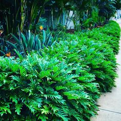 Philodendron Xanadu an alternative to agapanthus under the camelias Patio Tropical, Tropical Garden Design, Tropical Plants, Tropical Gardens, Backyard Pool Landscaping, Tropical Landscaping, Landscaping With Rocks, Back Gardens, Outdoor Gardens