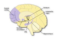 The dopamine circuit!