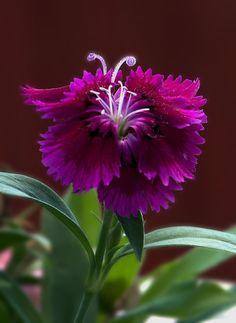Beautiful flowers Dianthus specimen.