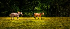 Horses running in the meadow