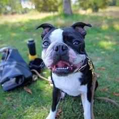 Lunatheboss. A 2 y/o Boston Terrier in Regent's park. Find her on instagram @lunatheboss_ton