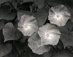 melisaki: Morning Glories photo by Ansel Adams; Massachusetts, 1958