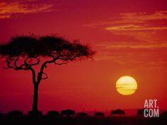 Wildebeest Migration, Masai Mara, Kenya Photographic Print by Dee Ann Pederson at Art.com
