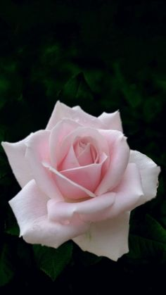 She Was Beautiful, Beautiful Roses, Beautiful Gardens, Beautiful Flowers, Purple Roses, Pink Flowers, Rose Care, Rose Pictures, Enchanted Garden