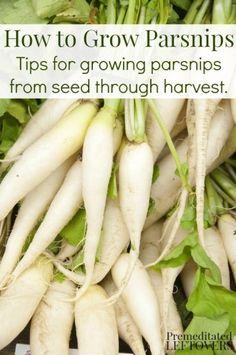 How to Grow Parsnip #gardening #parsnip #dan330 http://livedan330.com/2015/03/10/how-to-grow-parsnip/
