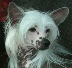 Google Image Result for http://vicjudges.com/chinese_crested/images/CC_head4.jpg