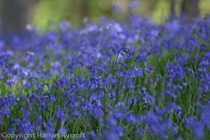 Wakehurst – walking on a bluebell planet Wildflowers, Horticulture, Planting, Nest, Planets, Walking, Landscape, Style, Nest Box