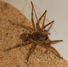 how to get rid of sand fleas in sandbox