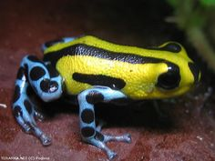 Poison Dart Frog - Ranitomeya Lamasi