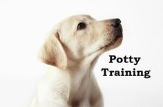 Labrador Retriever Puppies. How To Potty Train A Labrador Retriever Puppy. Labrador Retriever House Training Tips. Housebreaking Labrador Retriever Puppies Fast & Easy. Share this Pin with anyone needing to potty train a Labrador Retriever Puppy. Click on this link to watch our FREE world-famous video at ModernPuppies.com