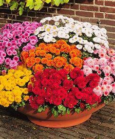 vasi di crisantemi | Fiori Piante e Giardini del Mondo: CRISANTEMI: I FIORI DI ...
