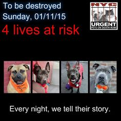 TO BE DESTROYED: 4 beautiful dogs to be euthanized by NYC ACC- SUN. 01/11/15. This is a VERY HIGH KILL shelter group. YOU may be the only hope for these pups! ****PLEASE SHARE EVERYWHERE!!To rescue a Death Row Dog, Please read this: http://urgentpetsondeathrow.org/must-read/ To view the full album, please click here: https://www.facebook.com/media/set/?set=a.611290788883804.1073741851.152876678058553&type=3